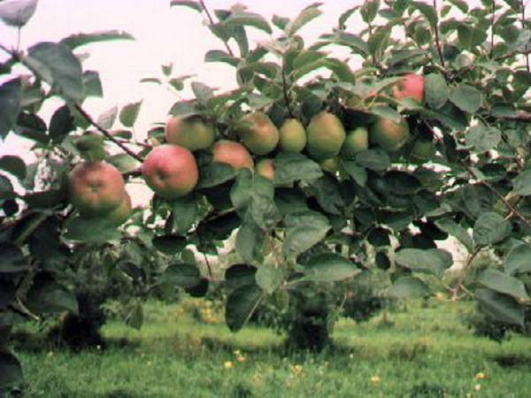Site Likéo Pommes Murissants