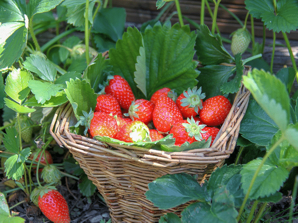 Strawberry Fresh Basket 600x450